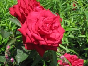 真っ赤な大輪のバラ